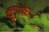 Baikal shrimp on a sponge